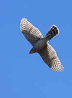 Hawk - Northern Goshawk
