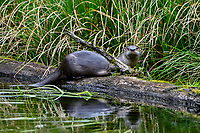 North American river otter (Lontra canadensis) on old moss covered fallen tree in old beaver pond, Pacific N.W., spring.