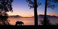 Brown bear walks along the shores of Naknek lake at dawn, Kejulik mountains, Katmai National Park, Alaska.