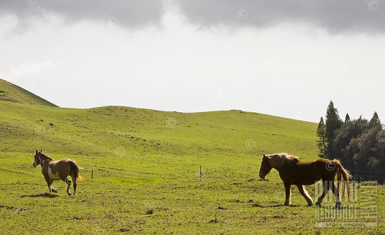 Horses on a pasture on Kohala Mountain Road, Big Island of Hawaii