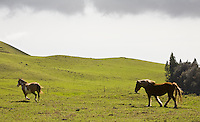 Horses on a pasture on Kohala Mountain Road, Big Island of Hawaii