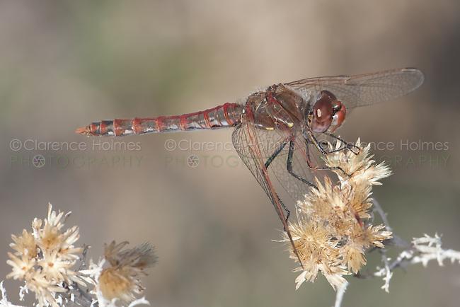 Variegated Medowhawk (Sympetrum corruptum) Dragonfly - Male, Agua Caliente Park, Tucson, Pima County, Arizona