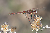 Variegated Medowhawk (Sympetrum corruptum) Dragonfly - Male, Agua Caliente Park, Tucson, Pima County, Arizona