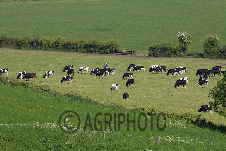 Holstein Dairy Cows Grazing in Oxfordshire.<br /> Picture Tim Scrivener 07850 303986<br /> tim@agriphoto.com<br /> ?.covering agriculture in the UK?.