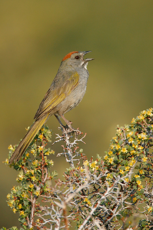 Green-tailed Towhee - Pipilo chlorurus - adult