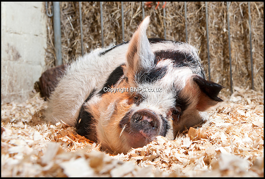 BNPS.co.uk (01202) 558833<br /> Picture: LauraJones/BNPS<br /> <br /> Daisy the hardy sow is taking a well earned rest after giving birth to an incredible 27 piglets the space of nine months.<br /> <br /> The Kunekune pig previously produced a litter of 11 babies at a children's activity farm when Charlie the randy boar escaped from his pen at night and snuck into her enclosure.<br /> <br /> Four months on from that amorous evening and Daisy has given birth to a whopping 16 more piglets at the Farmer Palmer's Farm Park near Wareham, Dorset.