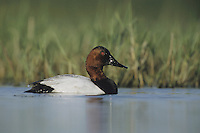 Canvasback (Aythya valisineria), male swimming, Sinton, Coastel Bend, Texas, USA