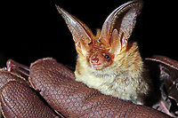 Braunes Langohr in Hand wird untersucht, Forschung, Fledermausschutz, Fledermaus-Schutz, Plecotus auritus, brown long-eared bat, common long-eared bat