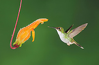 Booted Racket-tail (Ocreatus underwoodii), female feeding from flower,Mindo, Ecuador, Andes, South America