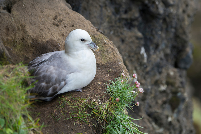 A Northern fulmar (Fulmarus glacialis) is nesting in the cliff of Dyrholaey, a small peninsula, or promontory, is located on the south coast of Iceland, not far from the village Vík.