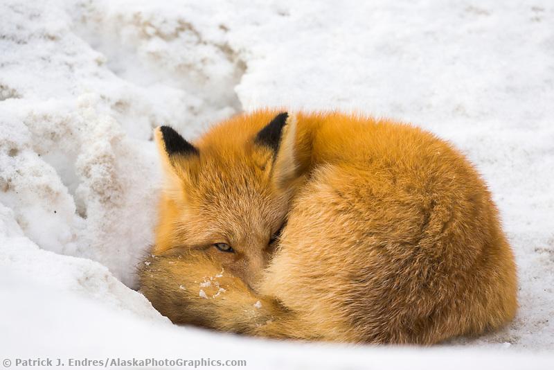 Red fox in Alaska's Arctic, Atigun Pass, Brooks Range