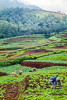 Java, East Java, Batu. Like the rest of Java this area is blessed with thick, fertile volcanic soil.