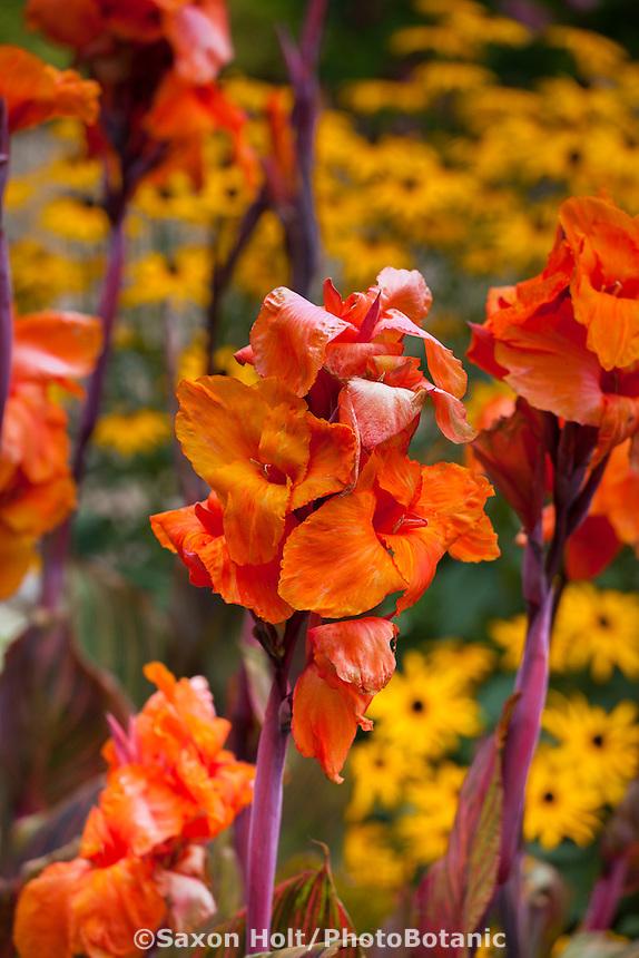 Canna 'Tropicana' orange flower perennial in colorful California garden