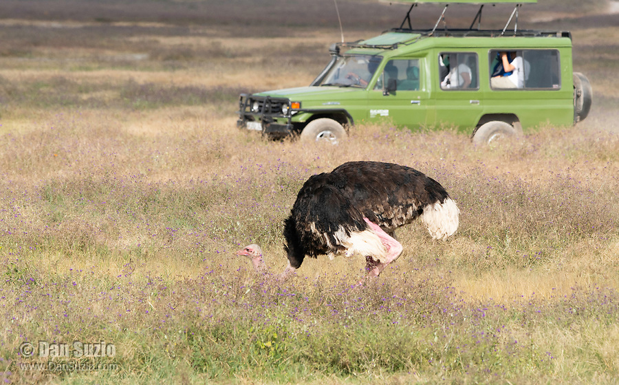 Male Common Ostrich, Struthio camelus, ducks its head as a safari vehicle passes in Ngorongoro Crater, Ngorongoro Conservation Area, Tanzania
