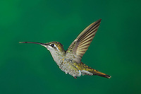 Magnificent Hummingbird, Eugenes fulgens, female in flight, Paradise, Chiricahua Mountains, Arizona, USA, August 2005
