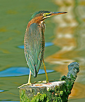 Green heron adult on mossy post