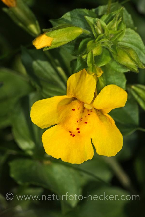 Gelbe Gauklerblume, Gefleckte Gauklerblume, Gewöhnliche Gauklerblume, Mimulus guttatus, Erythranthe guttata, seep monkeyflower, common yellow monkeyflower