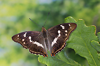 Großer Schillerfalter, Männchen, je nach Lichteinfall mit unterschiedlich sichtbarem Blauschiller, Apatura iris, Purple Emperor, male, Le Grand Mars changeant