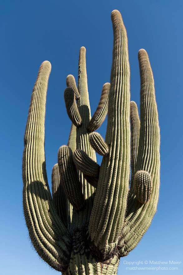 Sabino Canyon Recreation Area, Tucson, Arizona; a Saguaro cactus with multiple arms stands in early morning sunlight against a blue sky