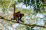 Black-handed Spider Monkey (Ateles geoffroyi) mother carrying young in tree, Osa Peninsula, Costa Rica