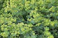 Gewöhnlicher Frauenmantel, Gelbgrüner Frauenmantel, Frauenmantel, Alchemilla xanthochlora, Alchemilla vulgaris, Lady´s Mantle