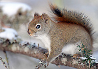 Red Squirrel  #W14