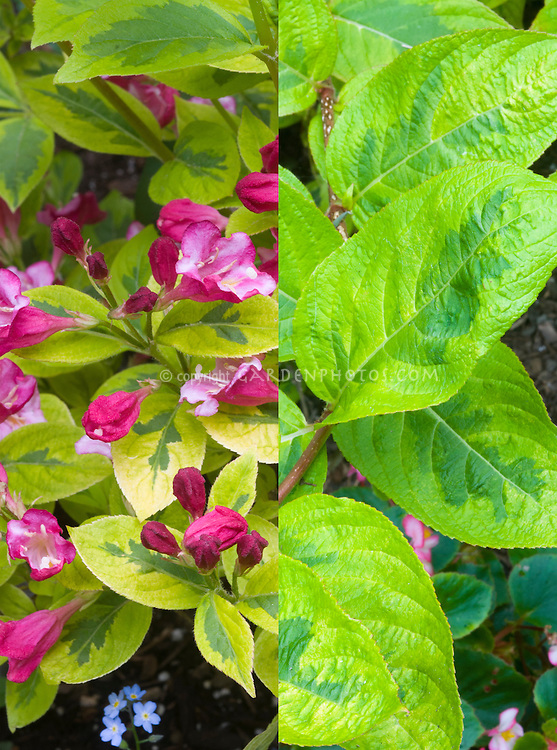 Weigela 'French Lace' in two stages phases, pink bloom with red buds spring flowering shrub and late summer variegated gold and green leaves foliage . Aka Moulin Rouge aka Brigela