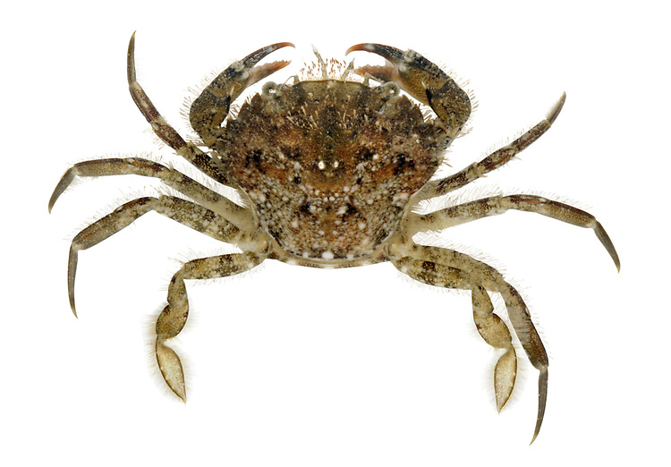 Arch-fronted Swimming Crab - Liocarcinus arcuatus