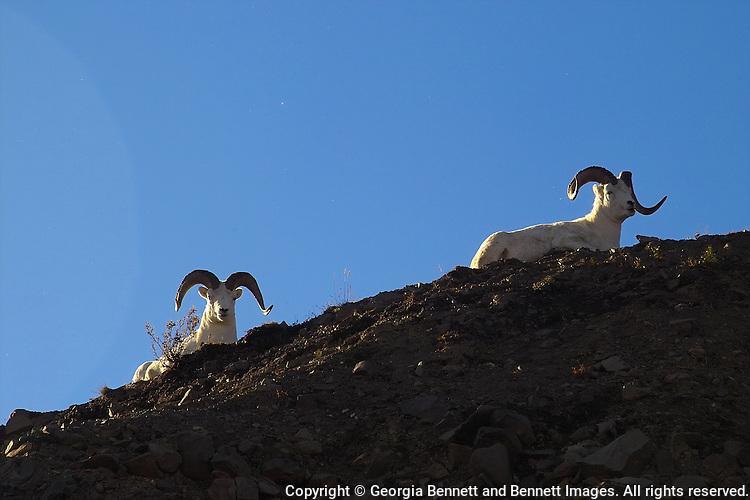 Two Dall sheep rams enjoy the setting sun at Denali National Park.