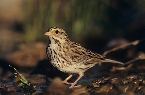 Savannah Sparrow, Passerculus sandwichensis,adult bathing, Willacy County, Rio Grande Valley, Texas, USA, March 2004