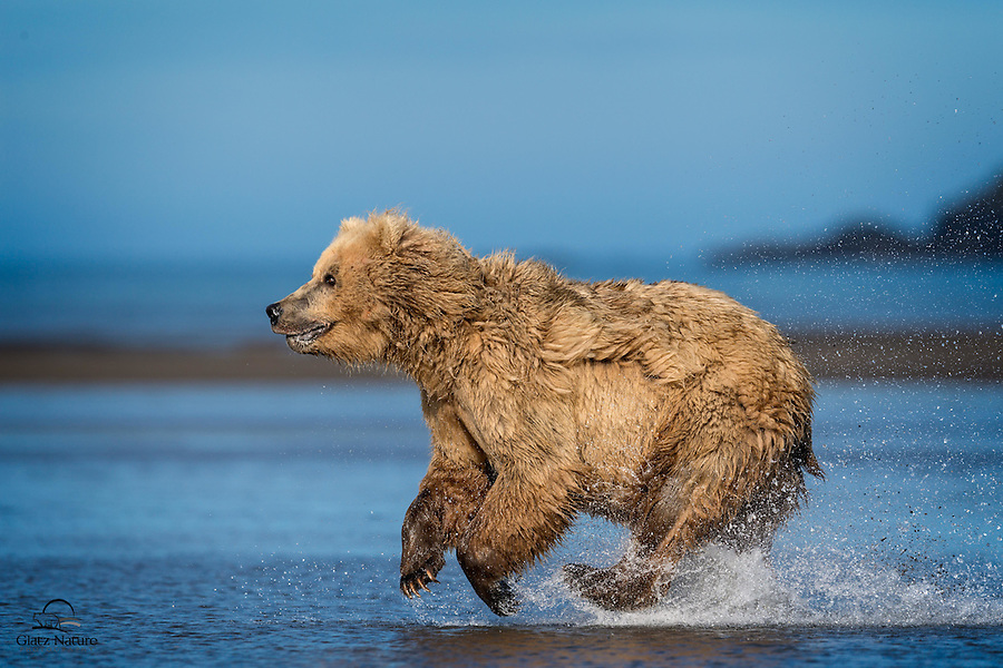 Coastal Brown Bear (Ursus arctos), with the remnants of a half-eaten flounder still showing on her mouth, bounds after another fish.  When a Brown Bear this size runs right past you, you gain an appreciation for just how large and fast they are.  Hallo Bay, Katmai National Park, Alaska.