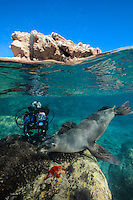 QT0892-D. California Sea Lion (Zalophus californianus) interacting with scuba diver (model released), split view photo. Baja, Mexico, Sea of Cortez, Pacific Ocean.<br /> Photo Copyright &copy; Brandon Cole. All rights reserved worldwide.  www.brandoncole.com
