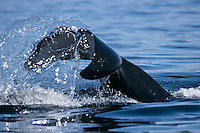 Orca or Killer Whale tail (Orcinus orca) tail or fluke.