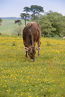 Brown Swiss heifer in a grass field, Whitewell, Lancashire.