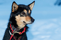 Sarah Stokey's dog delta is alert and ready as Sarah packs her sled and snacks her dogs as she readies to leave the Kaltag checkpoint on Monday morning March 11th during the 2019 Iditarod Trail Sled Dog Race.<br /> <br /> Photo by Jeff Schultz/  (C) 2019  ALL RIGHTS RESERVED