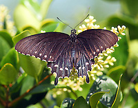 Pipevine swallowtail at blooming ligustrum