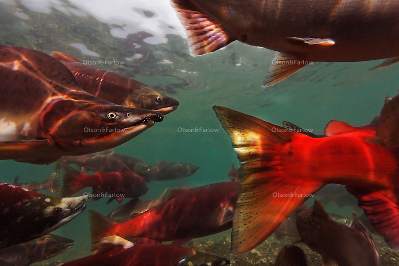 Brightly colored salmon swim in the icy clear waters of Kurilskoe Lake Preserve, a world heritage site that has had serious poaching problems. Kol River is the only protected area with braided rivers and 9 species from the Salmonid family.