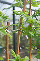Raspberry 'Malling Admiral', mid April. Summer-fruiting raspberries grow taller than autumn-fruiting varieities, and the previous year's new canes, which are left unpruned in winter, should be tied in to wires. New growth appears in spring, and they will fruit in summer.