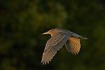 Black-crowned Night Heron Juvenile in Flight at Sunset, Sepulveda Wildlife Refuge, Southern California