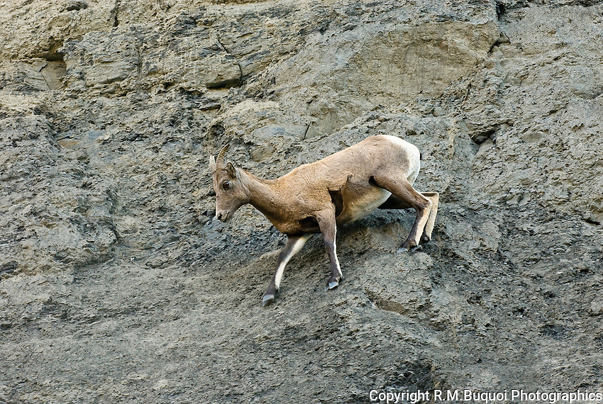 Bighorn Sheep scaling cliff in Yellowstone National Park