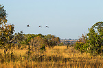 Grey Crowned Crane (Balearica regulorum) trio flying over savanna, Kafue National Park, Zambia