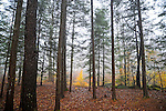 Misty Forest in Fall Season in Rural Marlow, New Hampshire USA