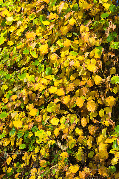 Hazel leaves in hedgerow during Autumn in The Cotswolds, UK