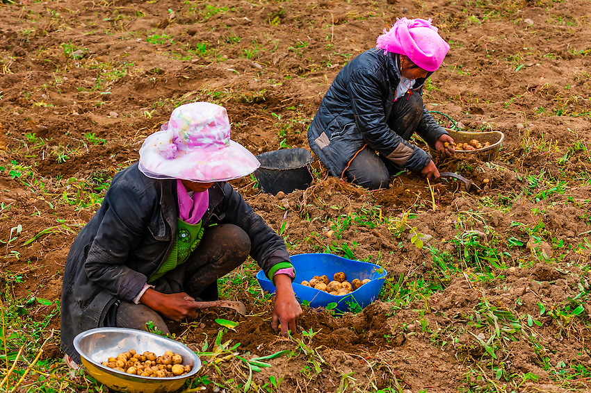 Potato farming, Doilungdeqen, Tibet (Xizang), China.