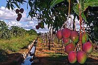 Plantaçao de manga em agricultura irrigada. Projeto de irrigaçao do Vale do Rio Sao Francisco. Petrolina. Pernambuco. 2010. Foto de Alf Ribeiro.