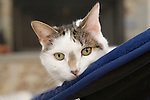 Sitting in a dark blue cat chair a green eyed tabby cat poses for a formal portrait in his suburban home in Maryland