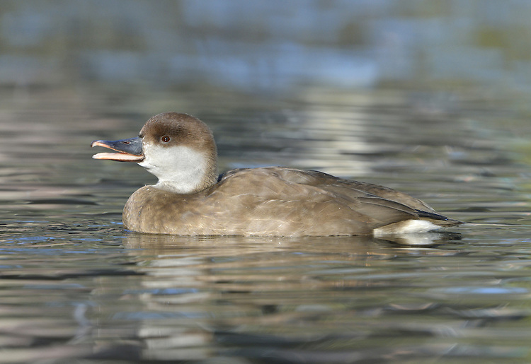Red-crested Pochard Netta rufina L 54-57cm. Large, distinctive diving duck; male is unmistakable. Associates with other diving ducks. In flight, both sexes show striking white wing bars. Sexes are dissimilar in other regards. Adult male has rounded, bright orange head, black neck, breast, belly and stern, and white flanks. Back is grey-buff and bill is bright red. In eclipse, resembles adult female but retains red bill. Adult female has mainly grey-buff plumage, darkest on back and above eye, and pale cheeks. Bill is mainly dark with pink tip. Juvenile Resembles adult female but bill is uniformly dark. Voice Mostly silent. Status Occurs in mainland Europe; some records may be genuine vagrants but most sightings are certainly escapees; feral populations are now established. Favours lakes and flooded gravel pits
