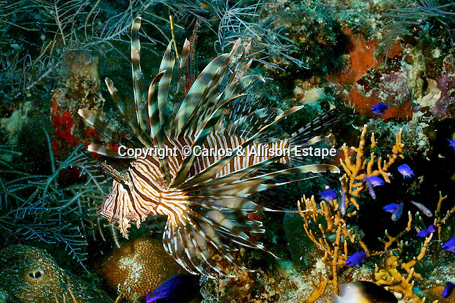 Pterois volitans, Red lionfish, Florida Keys,