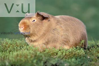Domestic Guinea Pig ,Cavia porcellus,, a popular pet rodent.