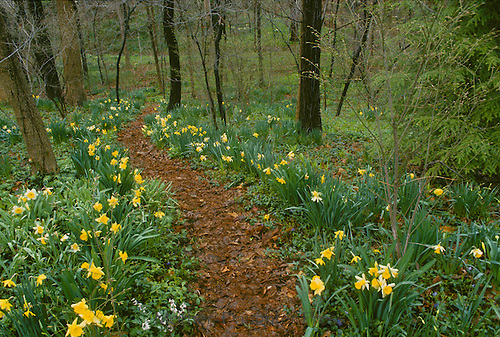 Trail through the woods in early spring with blooming daffodils